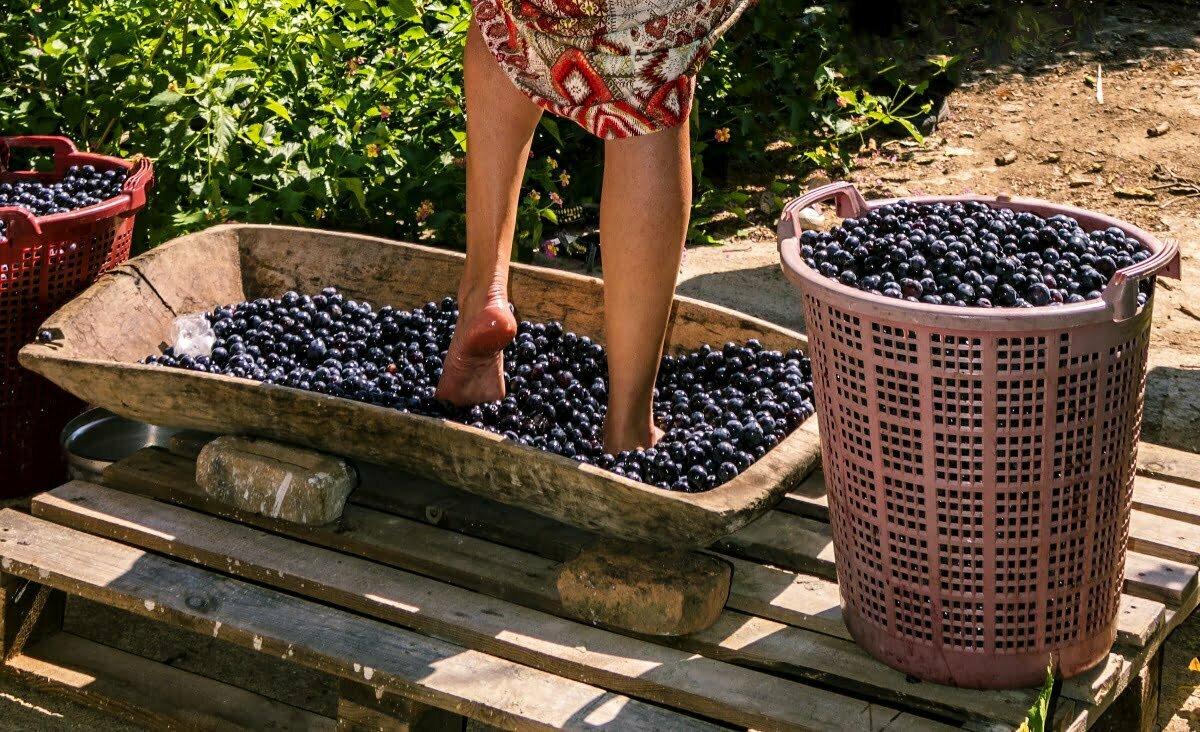 Cosa succede dopo la raccolta dell'uva?